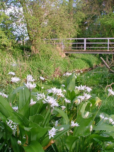 Ramsons on the Bank of Alum Beck