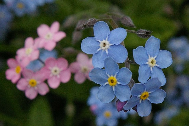 forget-me-nots Glastonbury