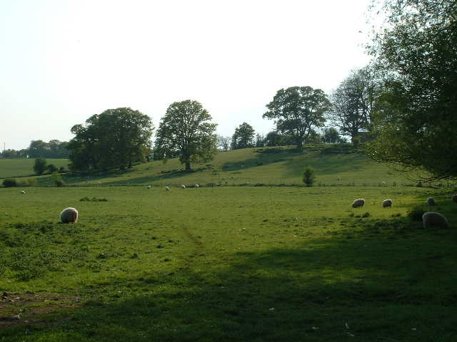 Isolated Sheep
