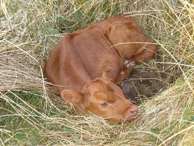 A new-born calf