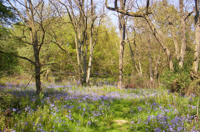 Bluebells in Launde Big Wood