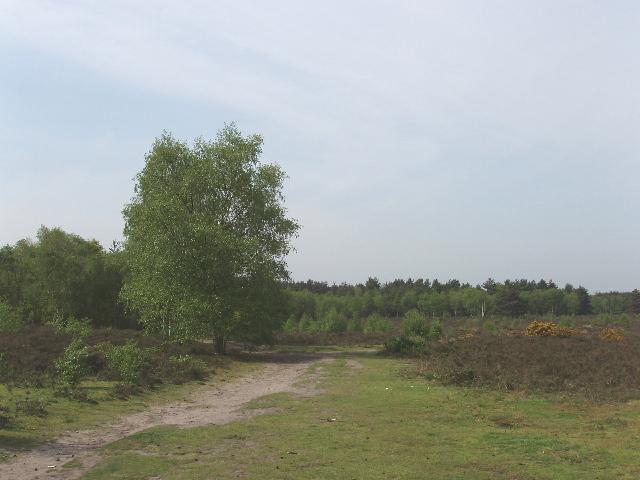 Heathland and birch tree, Horsell Common