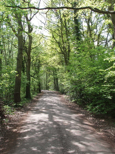 Oak trees, Horsell Common
