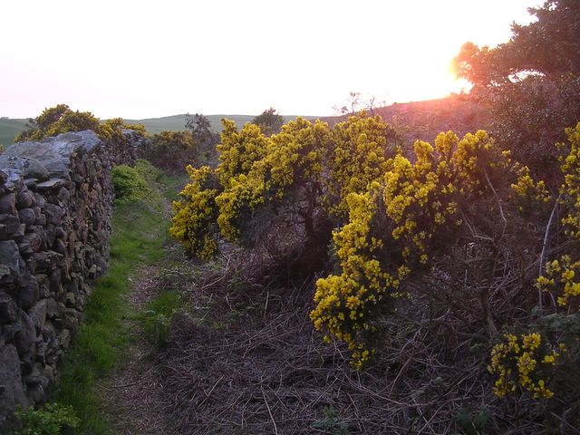 Gorse bushes in bloom