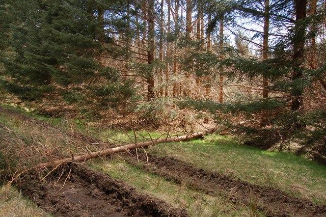 Fallen tree in Coille Ghlinne Bhig