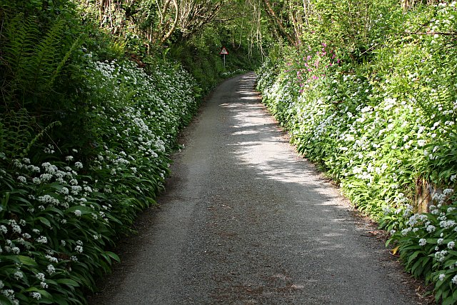 Ramsons Flowering on the Banks of a Narrow Lane