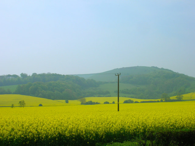 Sea of yellow near Folkington