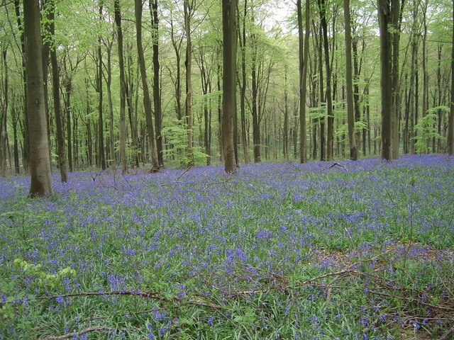 West Woods, Nr Lockeridge in May when the wood is carpeted with 'Bluebells'