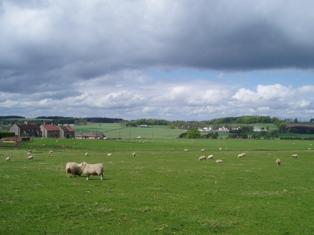 Sheep grazing near Newbigging