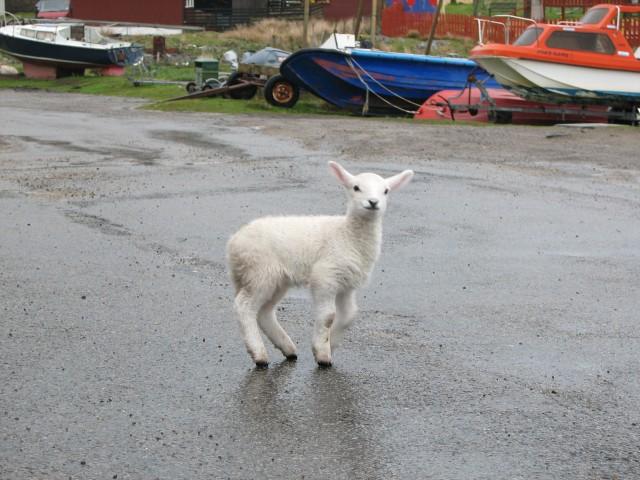 Lamb, Arinagour
