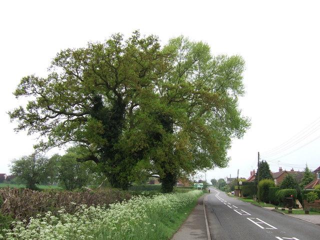 Oak & Black Poplar