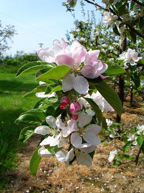 Apple blossom, Stuppington