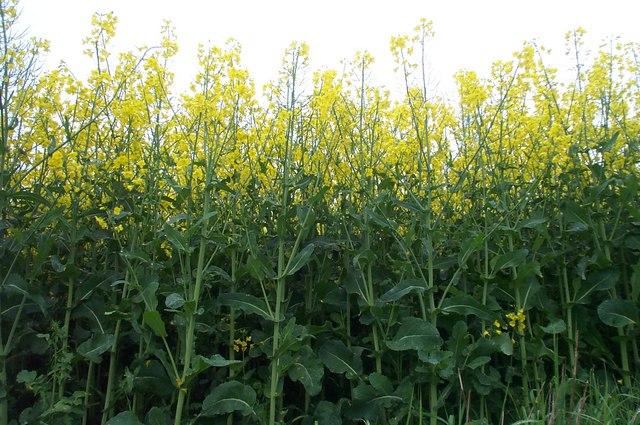 Rape seed plants