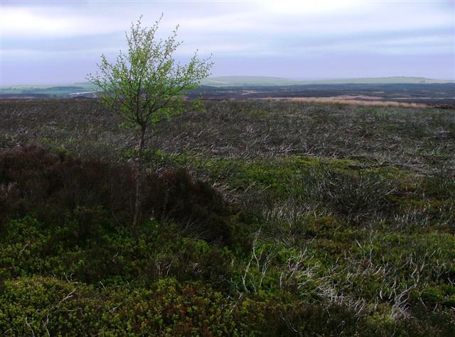 Rowan Tree, Black Dike Moor