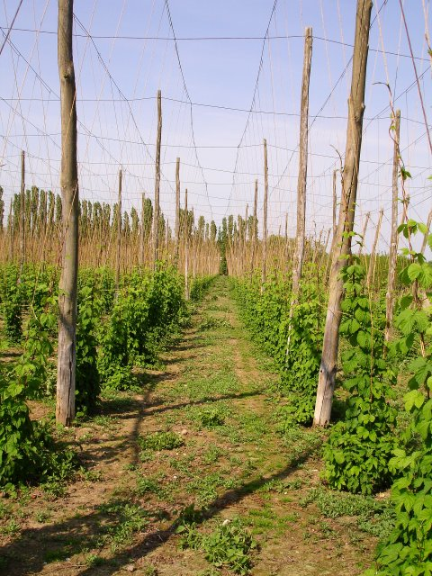 Hop garden, Syndale Bottom