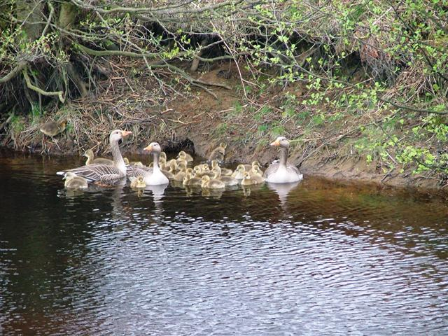 Greylags, Boghouse Beck