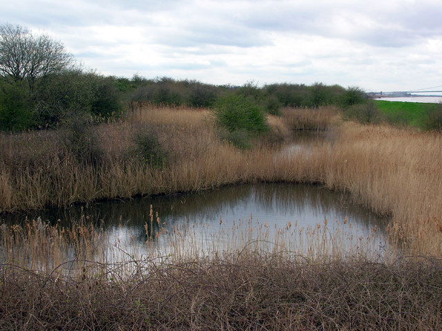 Reedbed at Barrow Haven