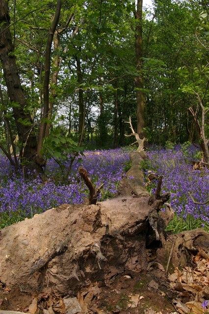 A fallen tree in Belhus Wood