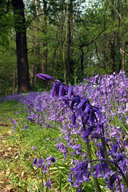 Whitepost Wood Bluebells