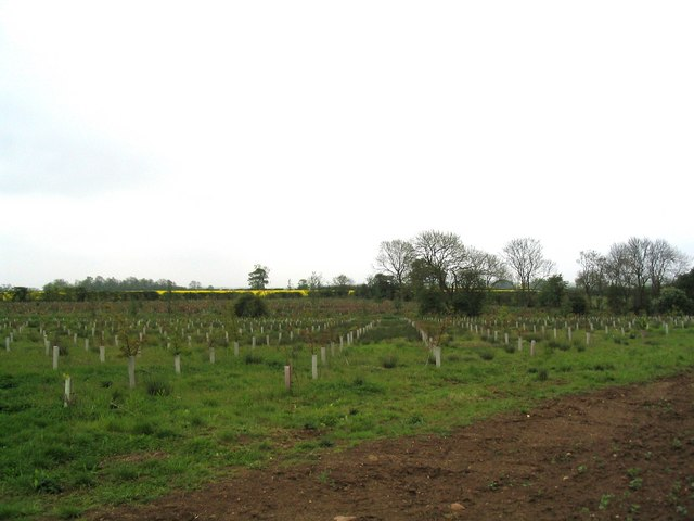 New oak plantation
