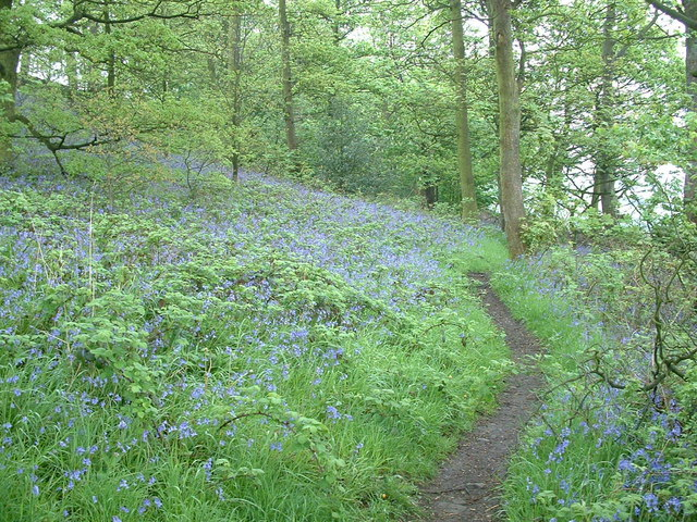 Bluebell woods near Hartshead Hall