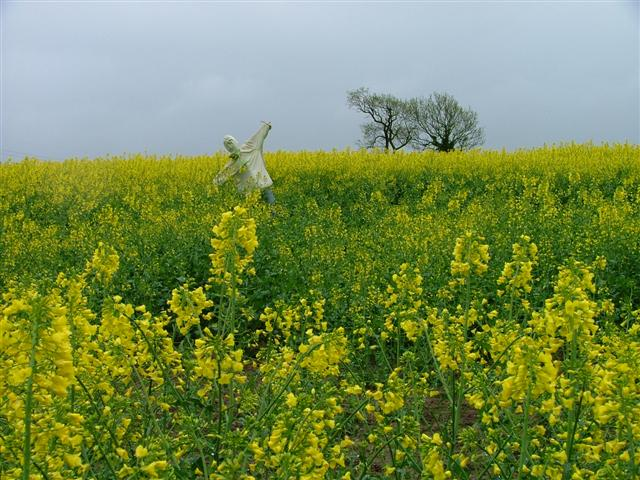 Scarecrow, Rape, Harsley Grove