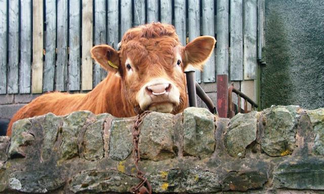 Bull, Ridley