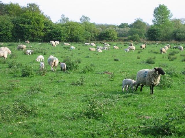 Grazing sheep, Surlingham