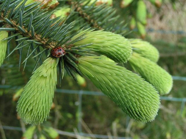 Ladybird on spruce