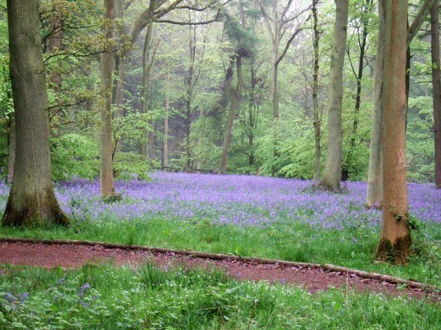 Bluebells in Wendover Woods