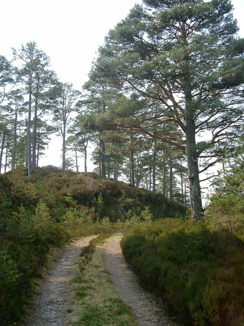 Scots pines by the track along Loch Beinn a Mheadhoin