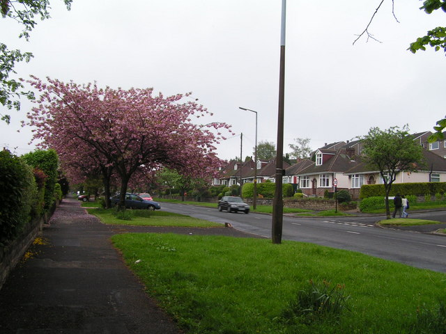 Tree in blossom on Manchester Road (A57)