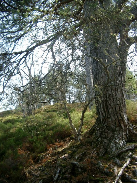 Scots pines above Dog Falls