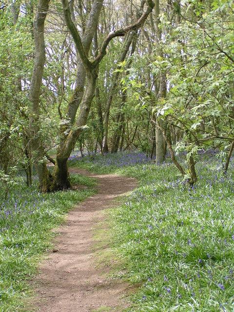 Darroch Bluebell woods