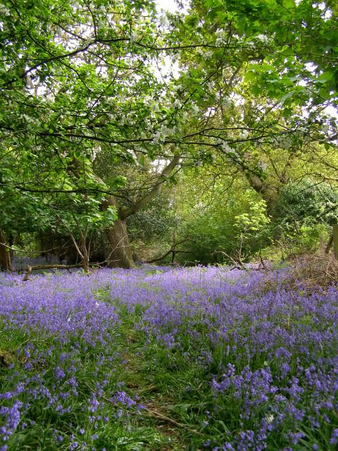 Spring in Roydon Woods