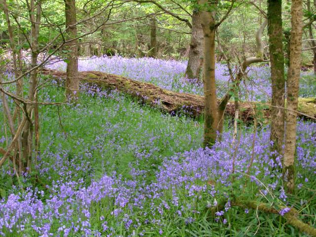 Bluebells in Roydon Woods