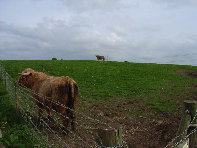 Highland cattle, Dogmersfield Park