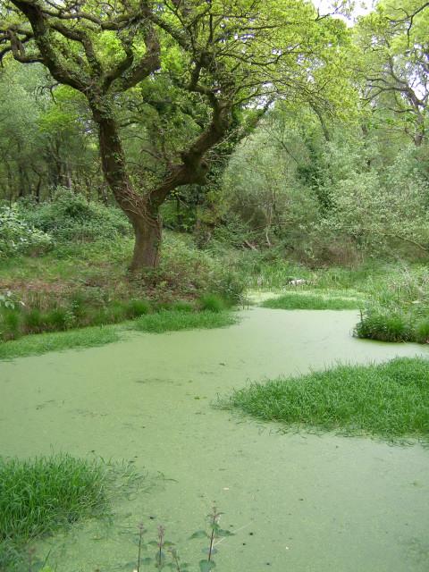 Green pond, Dilton Common