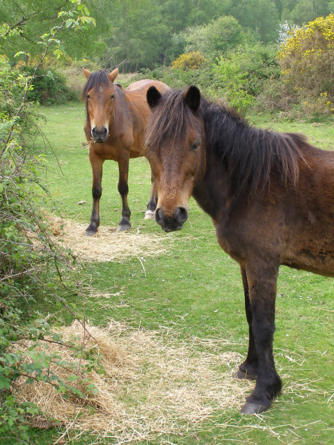 Ponies feeding on hay, Furze Hill, New Forest