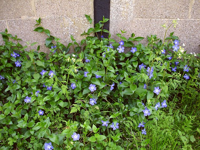 Periwinkles at Homestall Farm