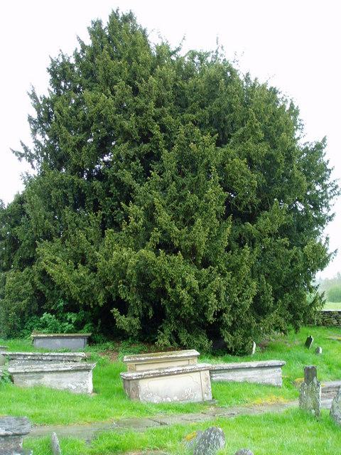 Yew at Llangar Churchyard