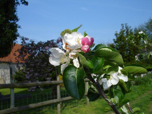 Bramley blossom near Norton church