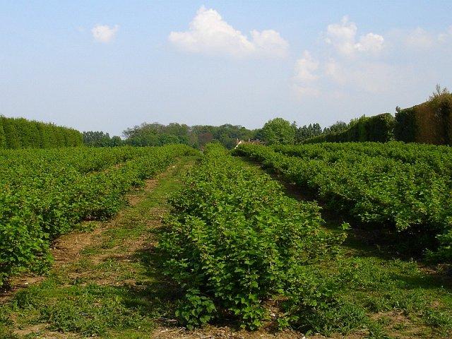 Currant bushes