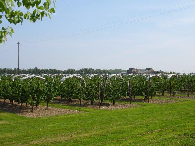 Cherry orchard at Norton
