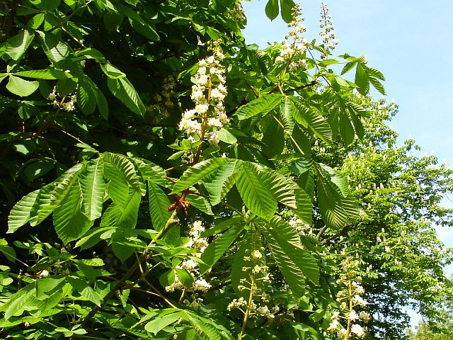 Horse chestnut 'candles'