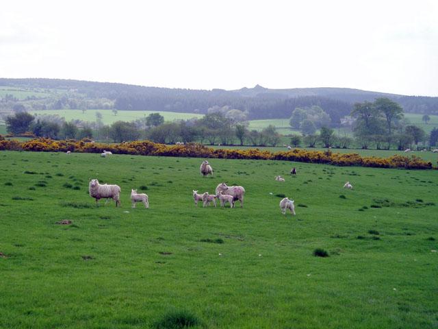 Sheep grazing near Ritton Place