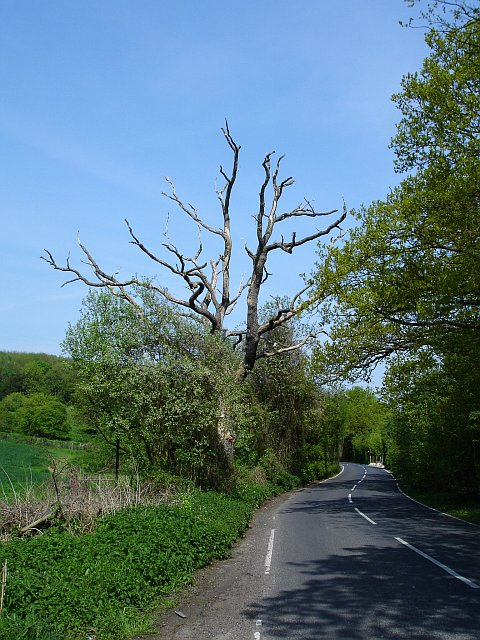 Dead tree on Faversham Road