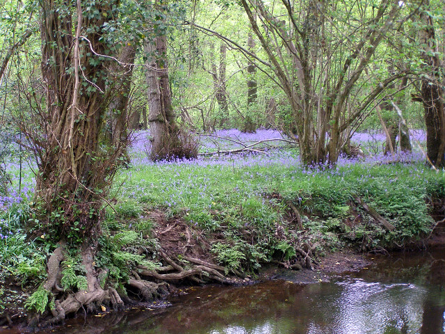Bluebells on the western bank of the Lymington River, New Forest