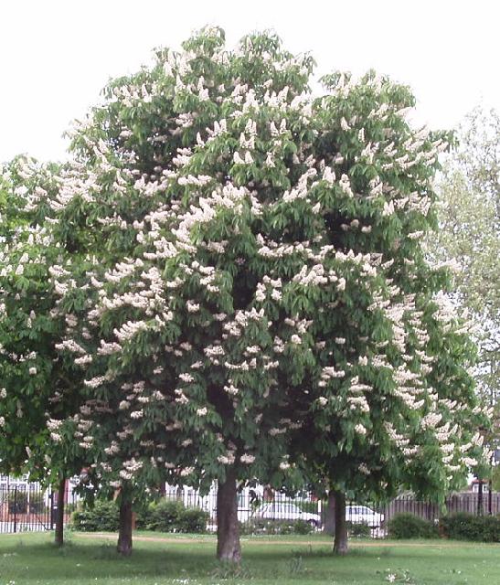 Horse chestnut tree in flower, North Acton Recreation Ground