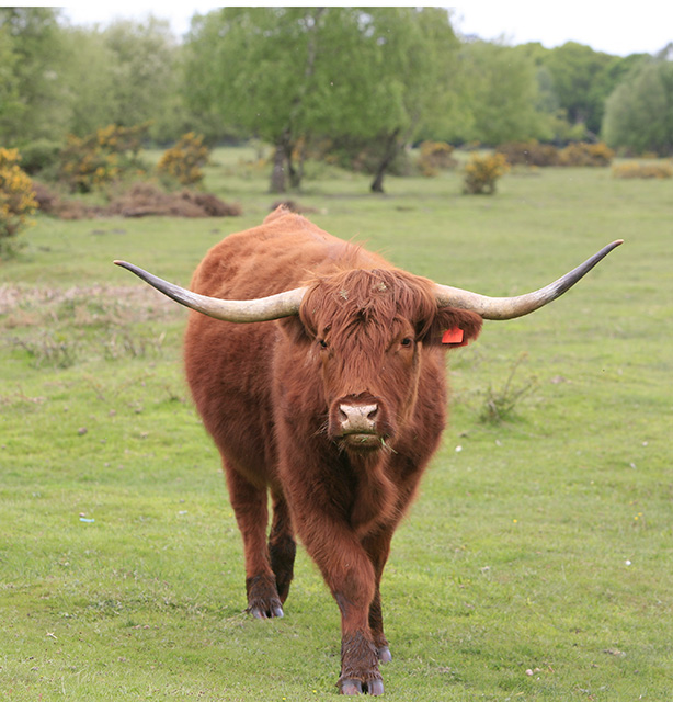 Cattle on Butts Lawn, Brockenhurst